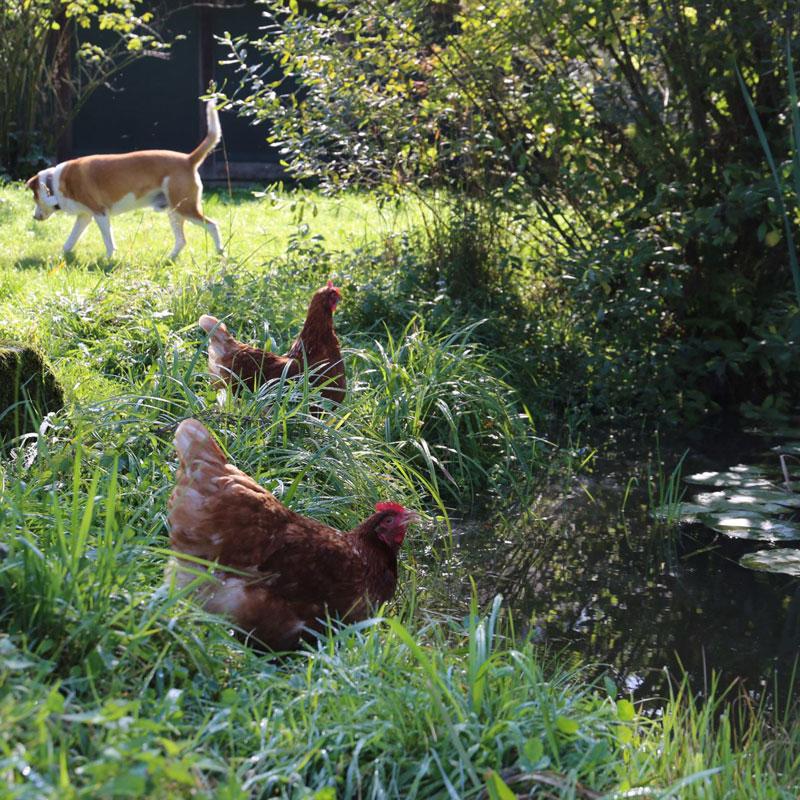 Hühner trinken aus dem Teich