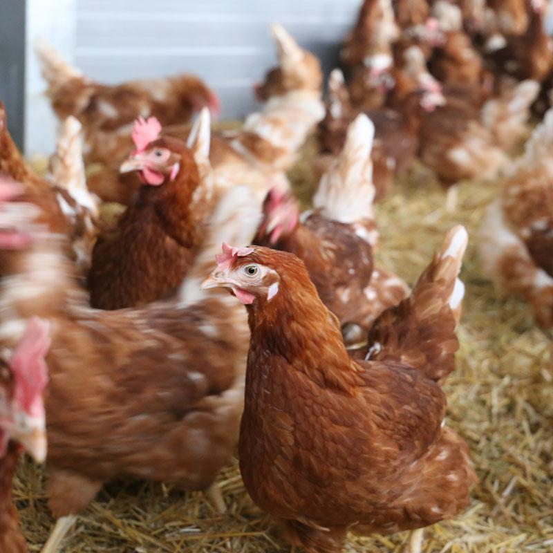 Hennen im Kaltscharrraum ihres Stalles auf Hof Klaas
