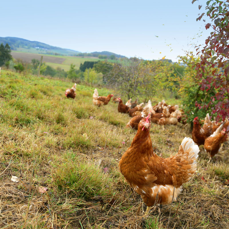 Hühner auf Hof Klaas in Meinerzhagen