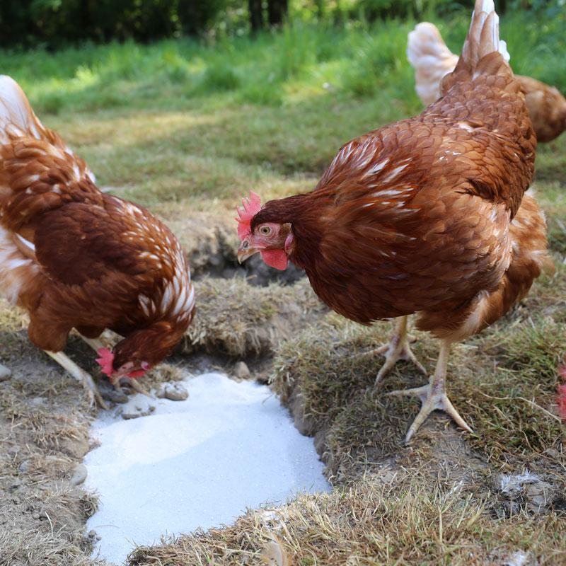 Hühner inspizieren ihr Sandbad