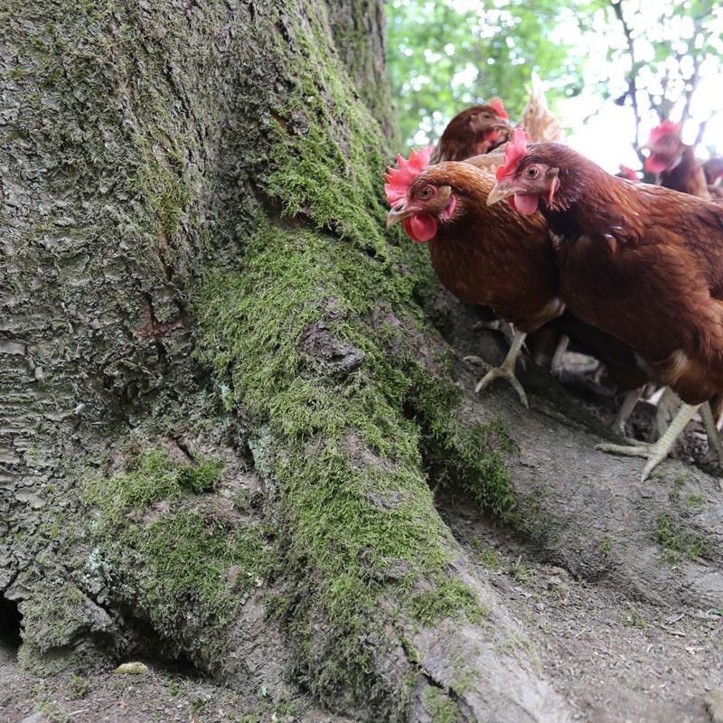 Hühner im Wald auf Gut Fussberg